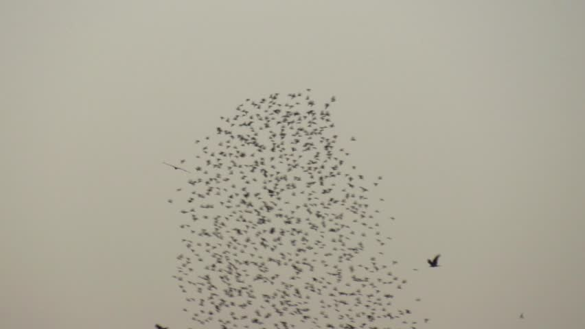 Starlings  Murmuration or Flocking behavior during dawn time in the sky.  | Shutterstock HD Video #1027711736