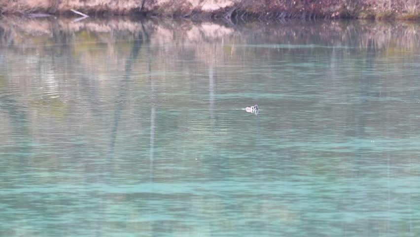Bufflehead swimming in turquoise water | Shutterstock HD Video #1027804397