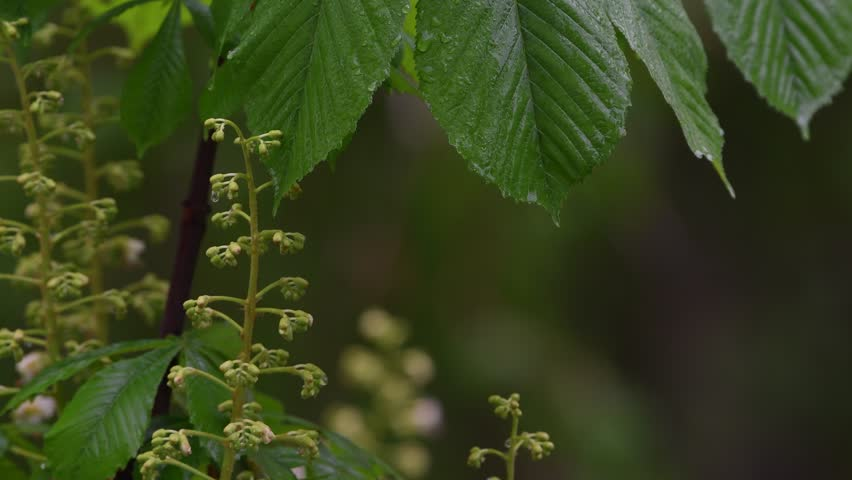 Beautiful closeup spring blossoming tree, in the rain. 4K  | Shutterstock HD Video #1027806476