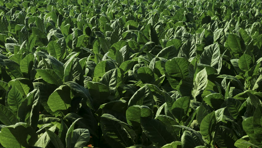Tobacco Fields, Tobacco Plants, Vinales Cuba  | Shutterstock HD Video #1027812008