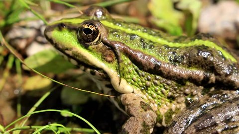 A green, striped frog hid in the grass by the river and awaits its prey.