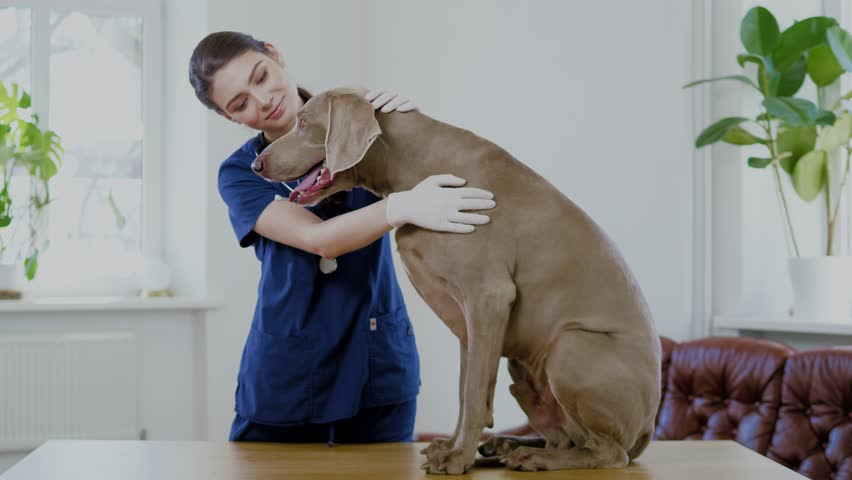 Veterinary surgeon and weimaraner dog at vet clinic | Shutterstock HD Video #1027863464