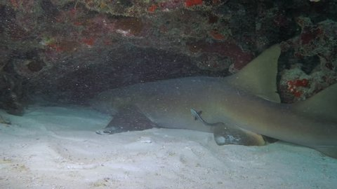 Small Shark Moves Dramatically to Stir Up Sand in Bayahibe, Dominican Republic