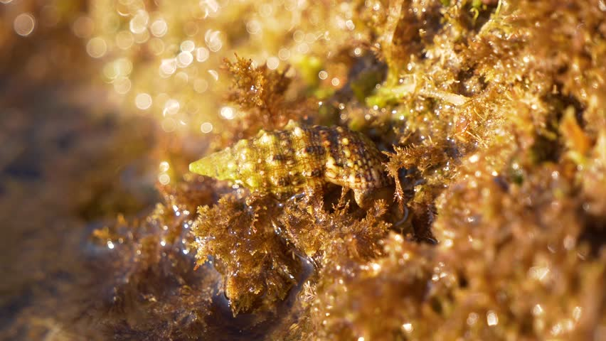 Static macro shot of a seashell on golden seaweed with rising tide #1027932236