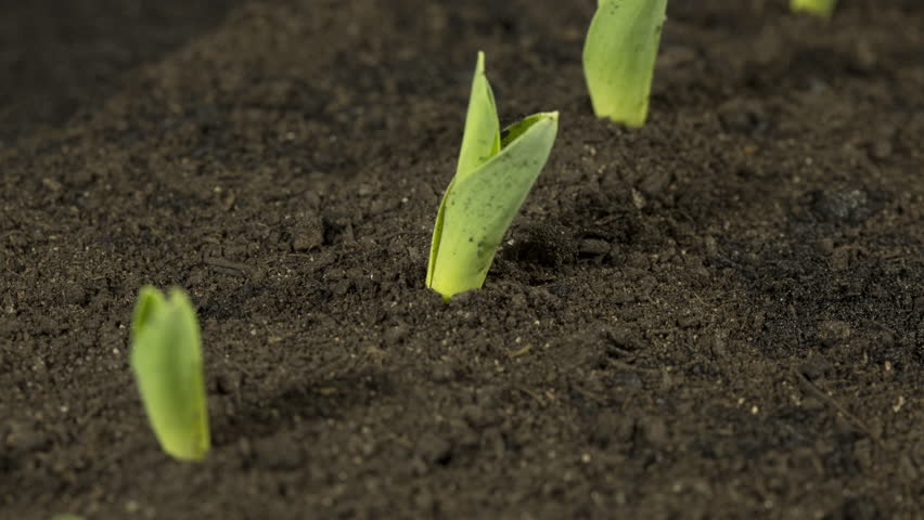 Time Lapse: Rows of corn plants germinate and grow in a field Royalty-Free Stock Footage #1027970327