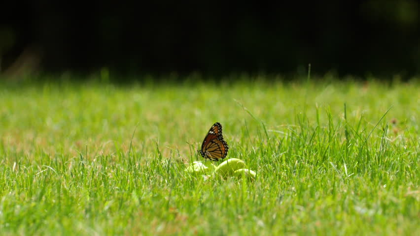 Monarch butterfly flying off of blade of grass. Slow Motion. | Shutterstock HD Video #1027973537