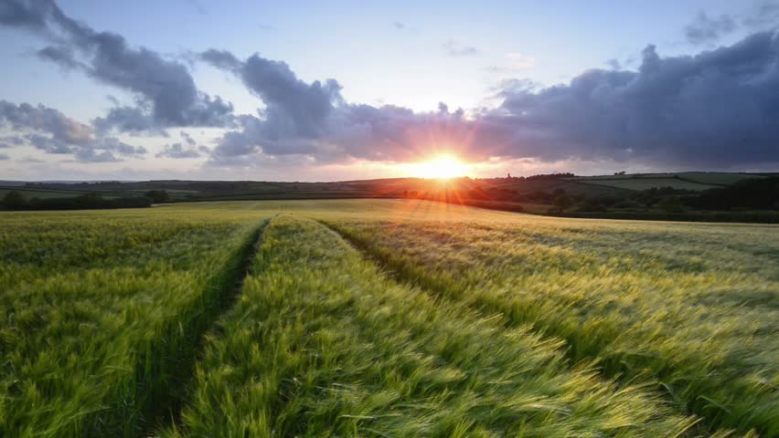 Sunset over a field of ripening barley blowing in the breeze