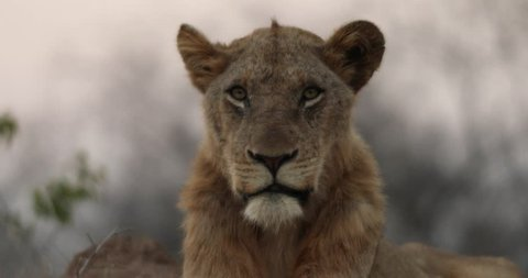 Male lion looking down the lens of a camera in South Africa