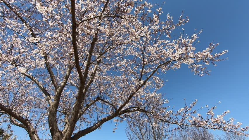 Cherry tree and sky | Shutterstock HD Video #1028059826