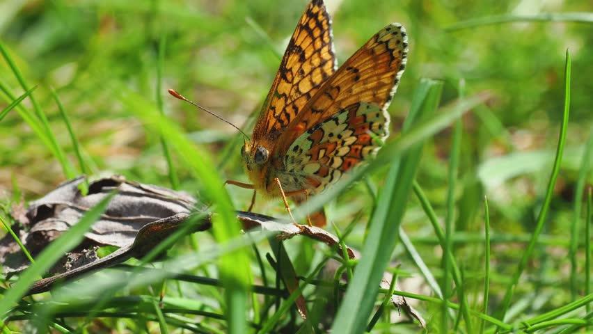 Glanville Fritillary (Melitaea cinxia ) butterfly. Hutchinson's Bank, Surrey | Shutterstock HD Video #1028219591