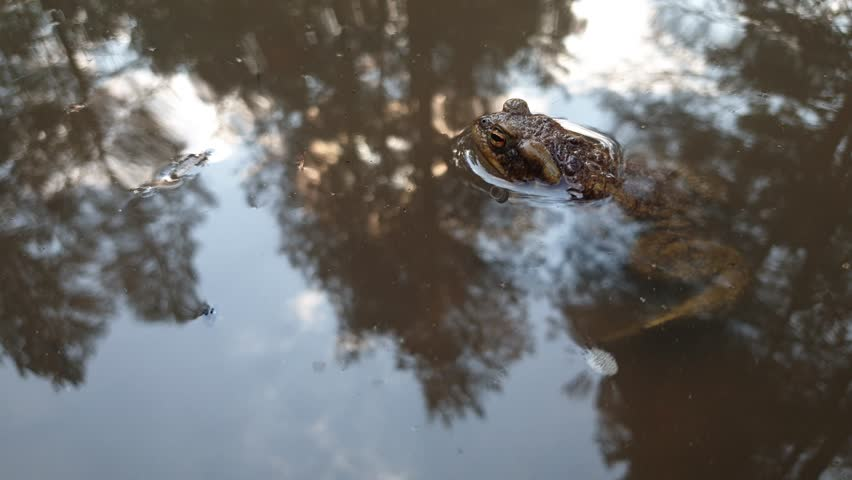 Frog in the pond. Frog closeup in the swamp. | Shutterstock HD Video #1028343428