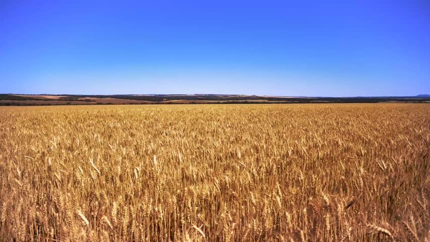 South Australian Wheat waving in the breeze
