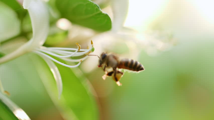Close up of one honey bee flying around honeysuckle flowers bee collecting nectar pollen on spring sunny day slow motion
