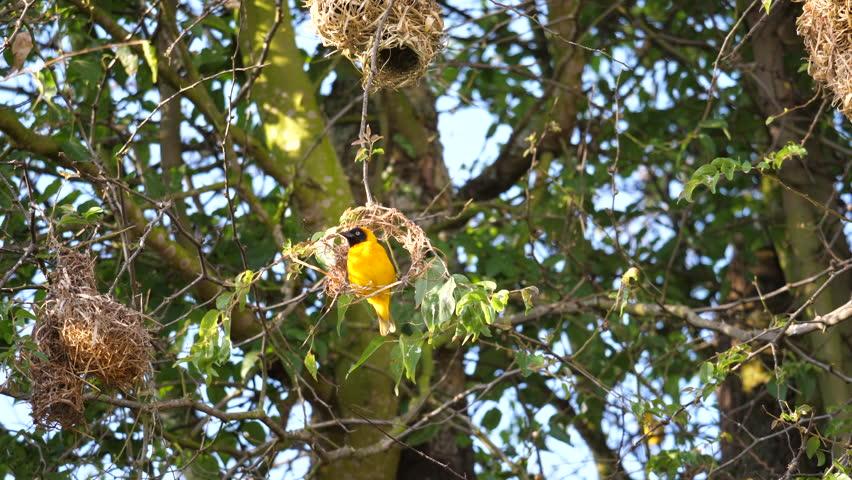 Weaver Bird Building A Nest Stock Footage Video 100 Royalty