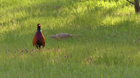 The common pheasant (Phasianus colchicus) is a bird in the pheasant family (Phasianidae). This is a domestic, decoration and hunting bird. Asiatic species introduced in other parts of the world.