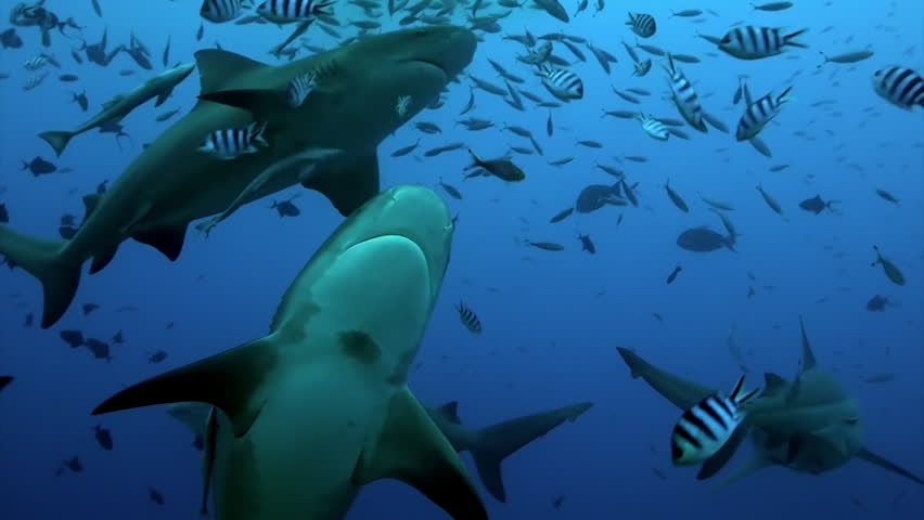 Pack of sharks in school of fish underwater Pacific Ocean Tonga. Dangerous animal gray bull shark and tropical fish in marine wildlife swimming in search of food