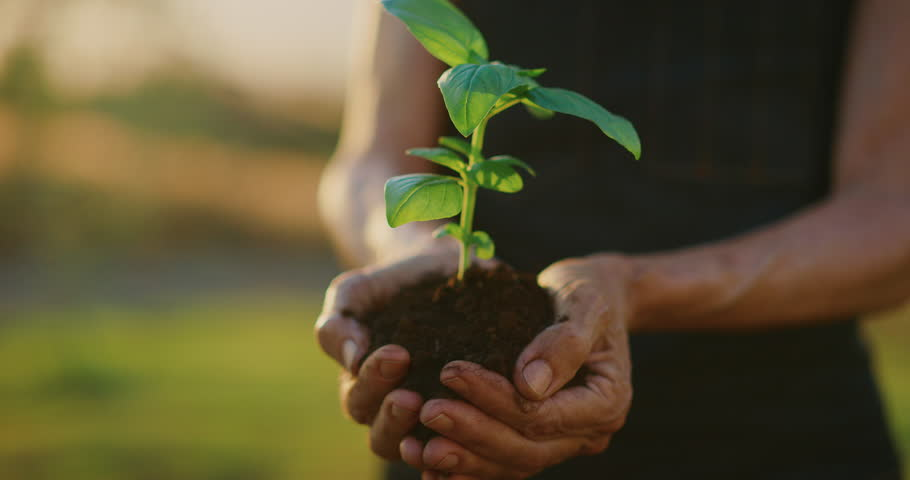 Hands holding a basil plant sapling with beautiful sunset light, concept of new growth and sustainable agriculture, environmental health, caring for mother earth | Shutterstock HD Video #1028452148