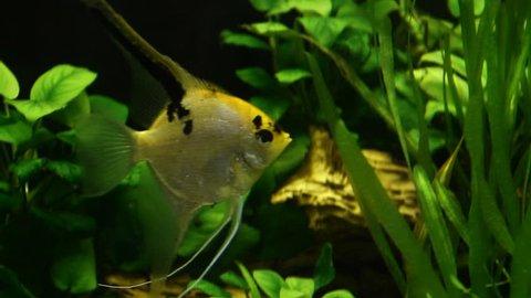 Tropical fishes in freshwater aquarium