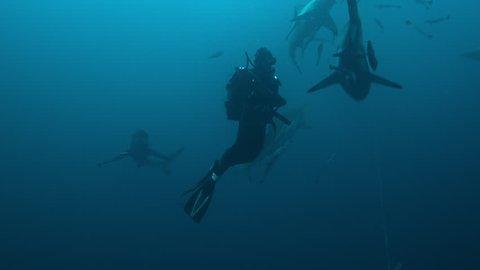 The blacktip shark, South Africa, Indian ocean.