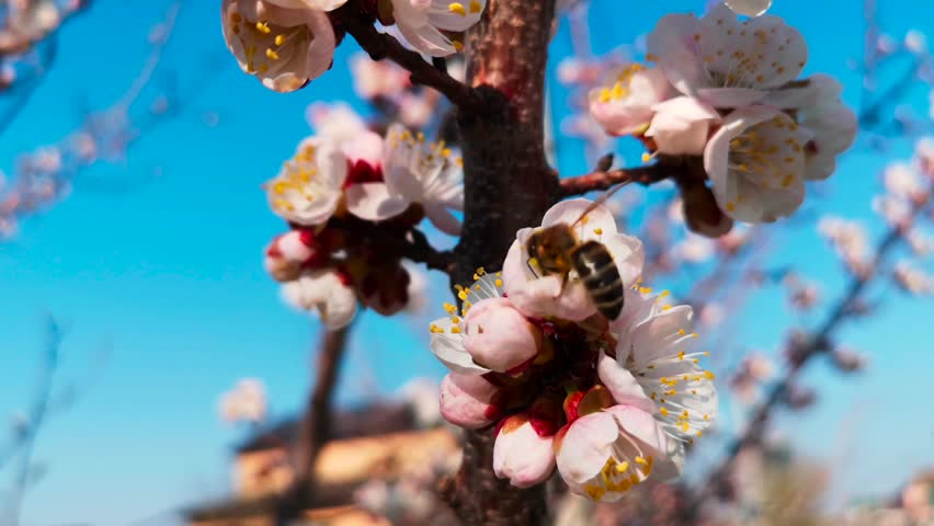 Bee collects honey from flowers on the tree. | Shutterstock HD Video #1028483279