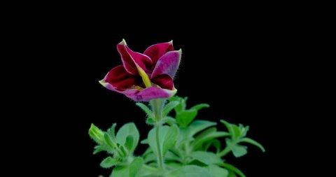 Blooming red Petunia on black background.4K