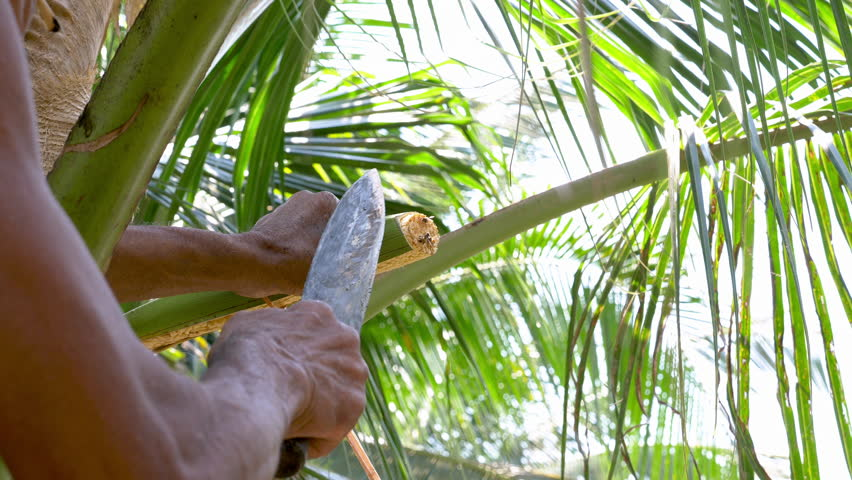 Flower of coconut palm in coconut palm trees farm background in Thailand. Coconut planters show process of making sugar from coconut flowers