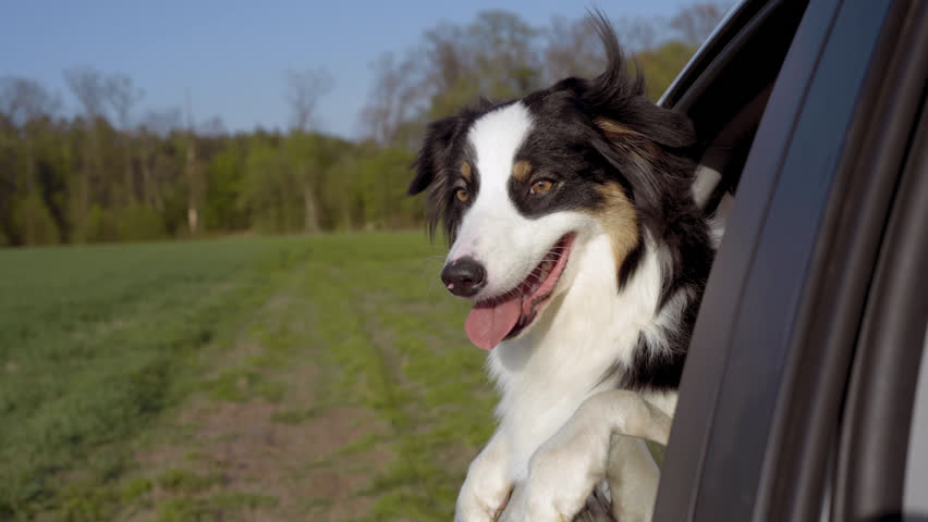 Slow motion - curious Aussie Dog sticking his head out car window while driving on green field. Black Tri color Australian shepherd dog enjoying a ride. Funny video with animals. #1028540423
