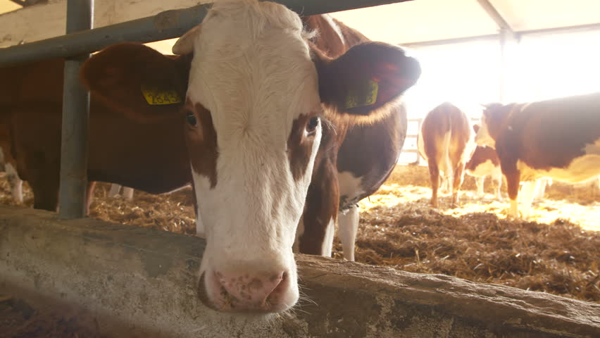 Cows In Cow House - Cattlles - Cowshed Animal Farming