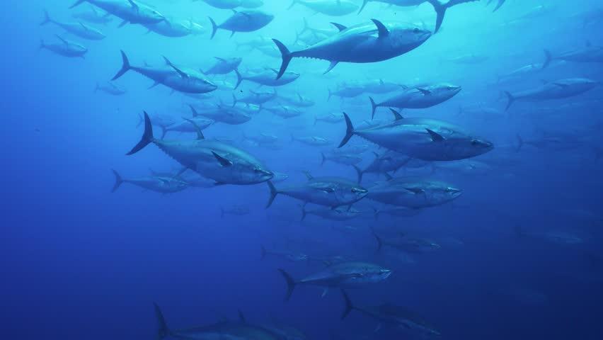 Schools of Big Tunas swimming in mediterranean sea Royalty-Free Stock Footage #1028590319