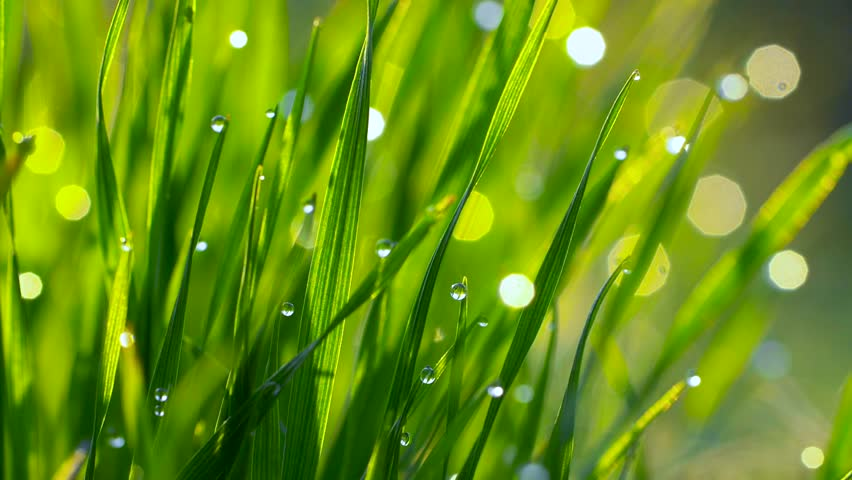 Dew drops on the grass shining in the morning rays of sun. Grass is waving in the wind. Slow motion shot   Shutterstock HD Video #1028596052