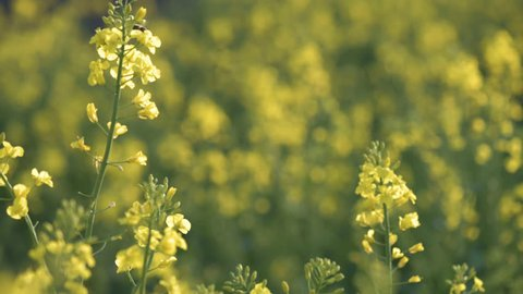 Rapeseed field. Yellow rape oilseed flowers on the field in summer or spring. Closeup of Blooming canola growing in meadow at sunny day.