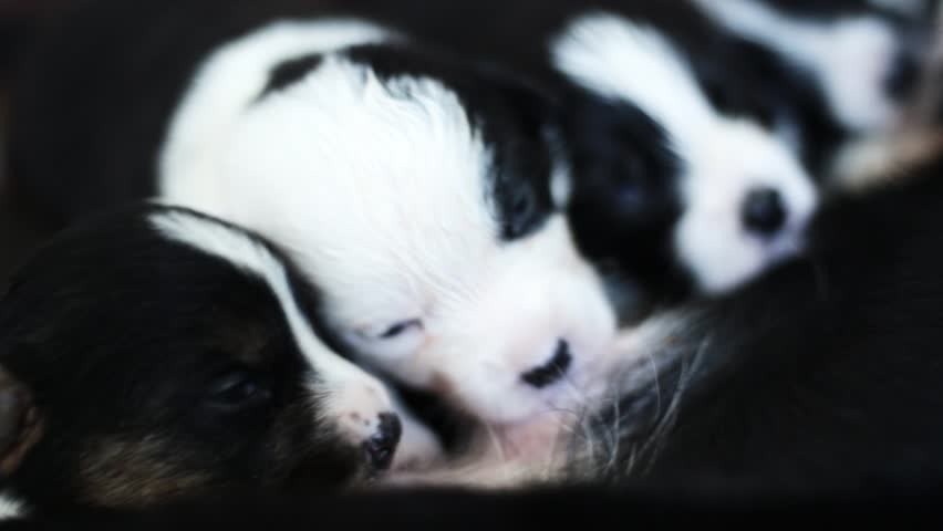 welsh corgi cardigan Dog Feeds His Newborn Puppies closeup