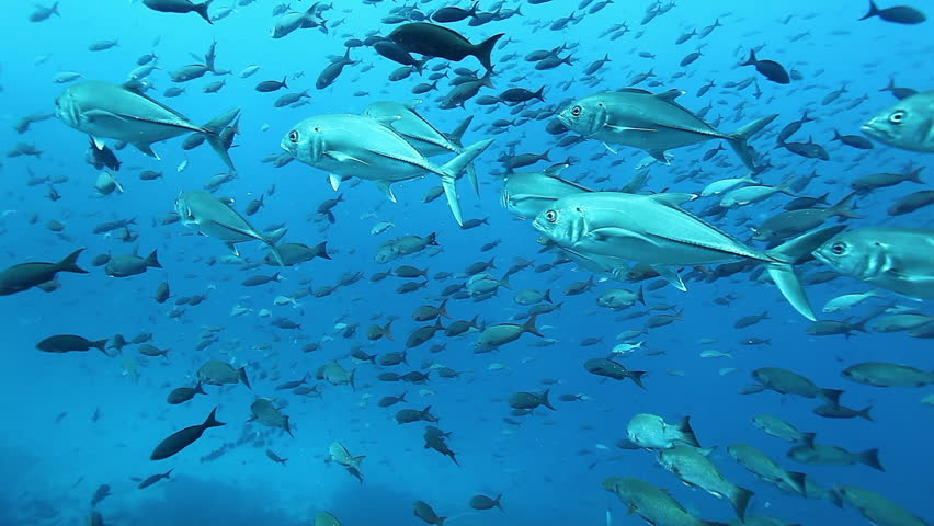 Tuna fish close-up in underwater marine life of sea creatures in Pacific Ocean on Galapagos Islands Group. School of tuna fish swimming in fresh water. | Shutterstock HD Video #1028627696