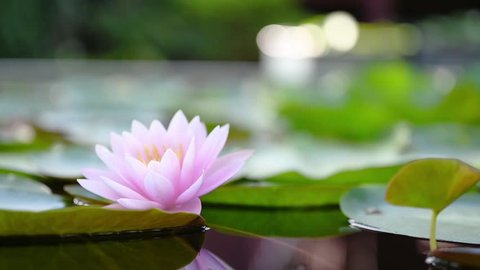 beautiful lotus flower on the water in garden.