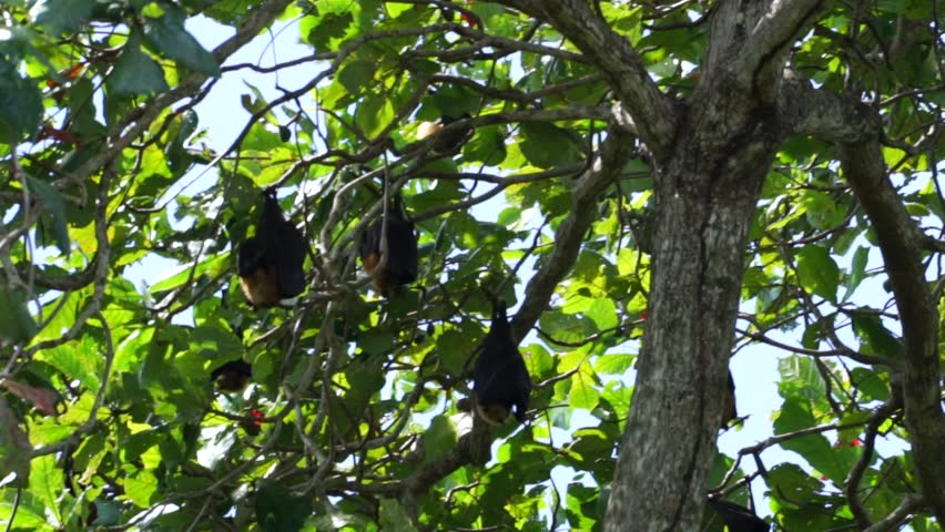 Group of Flying Fox (Pteropus Seychellensis) hanging upside down on tree branches, wrapped in their own wings, in front of a blurry background in the jungle of La Digue, Seychelles. #1028647268
