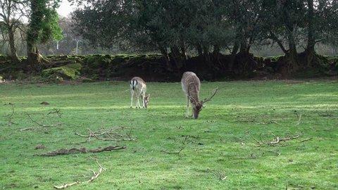 Fallow deers feeding in a field in Cornwall, England, UK