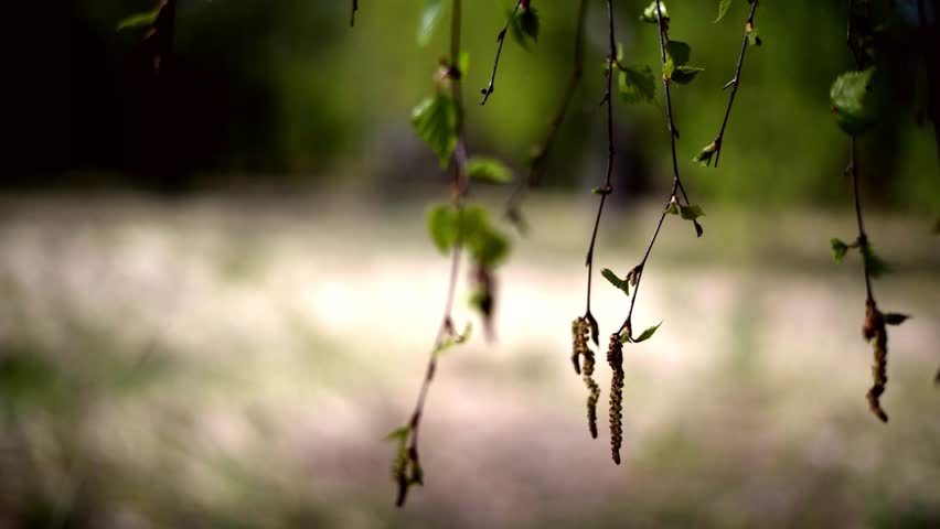 Defocused natural background, spring, in the foreground branches and leaves of a birch tree with Staminate aments are pendulous, clustered or solitary