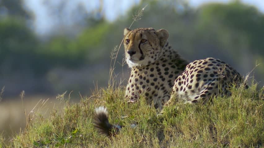Medium close shot of a male cheetah sitting on a grassy mound in Africa   Shutterstock HD Video #1028821460