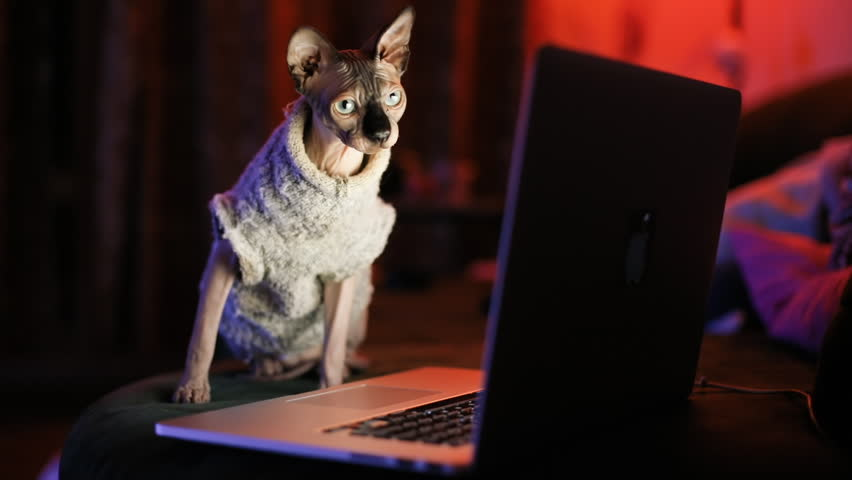 Playful sphynx kitten in lovely sweater looking at laptop monitor in the cozy bedroom. | Shutterstock HD Video #1028840129