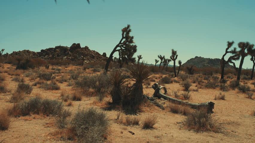Dynamic revealing shot of yucca tree in hot Mojave desert