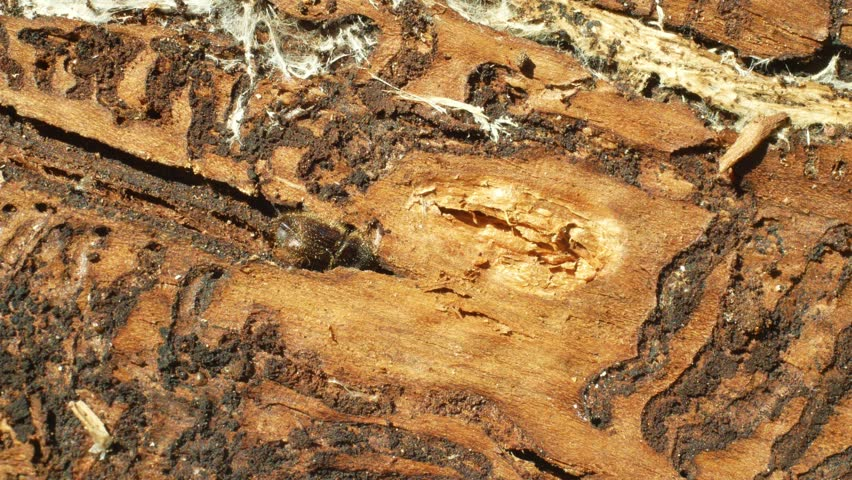Bark beetle pest Ips typographus, spruce and bast tree infested and attacked by the European spruce, making their way in wood larva and larvae, clear cut calamity global warming, burrow hole detail | Shutterstock HD Video #1028898086