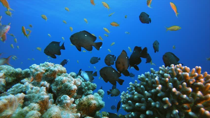 Coral Reefs Seascape. Tropical underwater sea fish. Underwater fish reef marine. Soft and hard corals. Underwater fish garden reef. Reef coral scene. Coral garden seascape. Colorful tropical coral   Shutterstock HD Video #1028952197