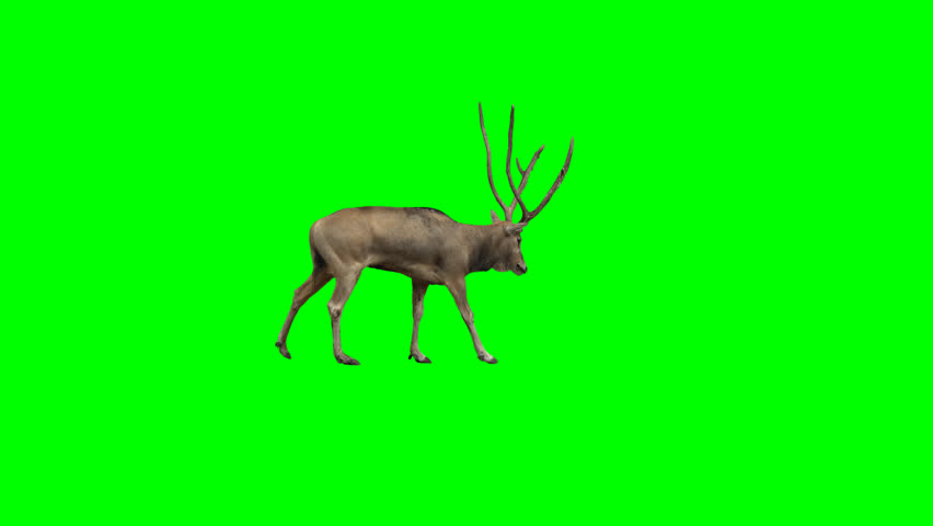 David's deer slowly walking across the frame on green screen, real shot, isolated with chroma key, perfect for digital composition, cinema, 3d mapping.
