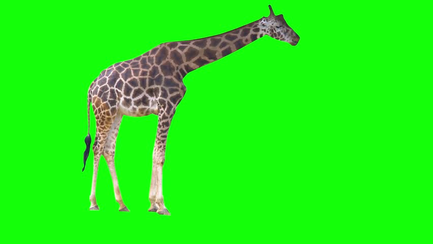 4K Green Screen Giraffe Eating From Tree in Chroma Key Green African Giraffe Walking and Eating Royalty-Free Stock Footage #1029136124