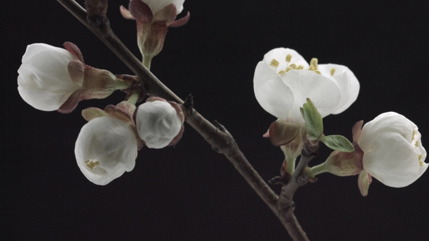 Spring flowers opening. Beautiful Spring Apricot tree blossom open timelapse, extreme close up. Time lapse of Easter fresh pink blossoming apricot closeup. Blooming backdrop on black 4K UHD video #1029207101