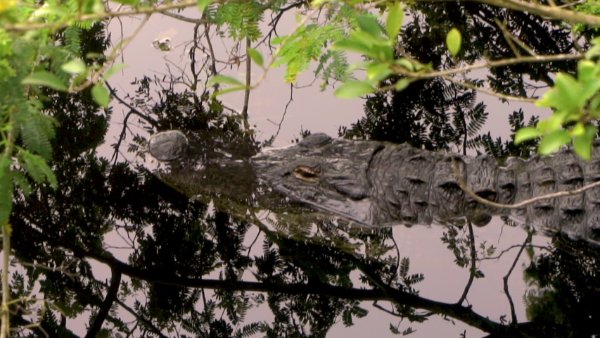 Close up of aligator laying in river, Everglades Florida