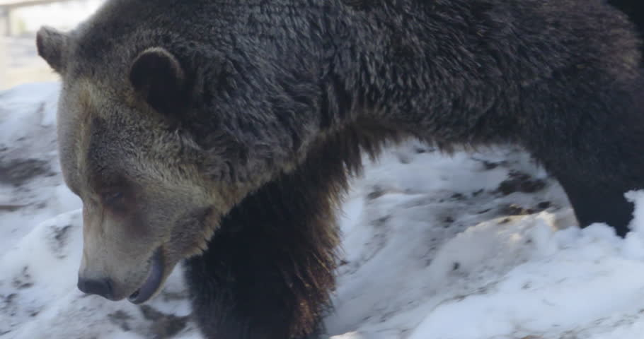 A fierce, brown grizzly bear walks down a snowy hill. Shot in slow motion