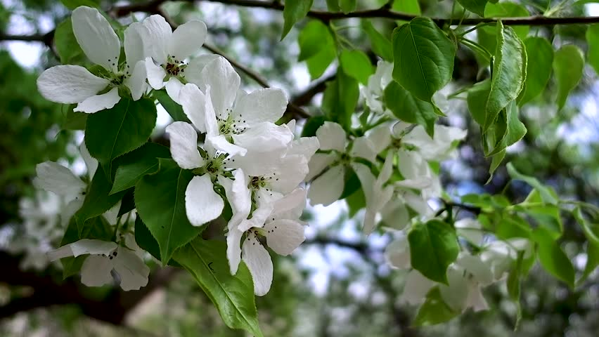 An Apple Tree Branch With Large White Flowers Flutters