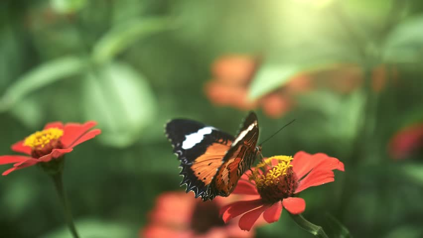 Black and orange butterfly flying away from pink flower after feeding. Slow motion shot