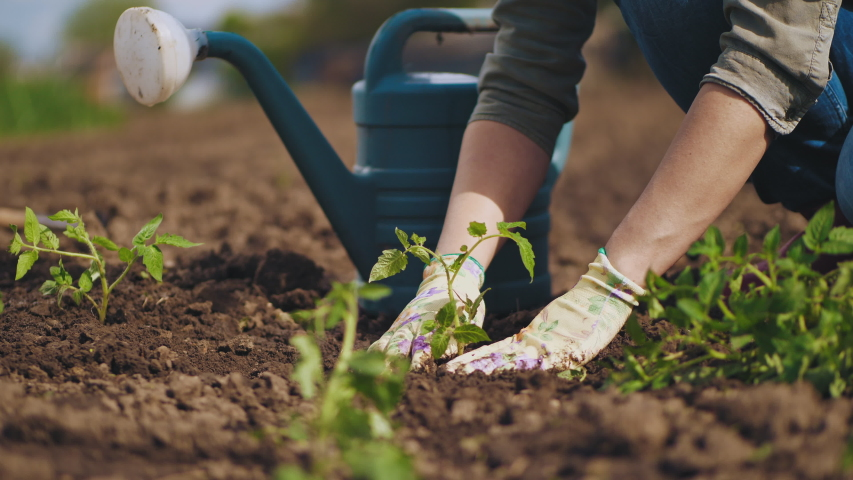 Farmer hands planting to soil tomato seedling in the vegetable garden. On the background a watering can for irrigation. Organic farming and spring gardening concept | Shutterstock HD Video #1029478328